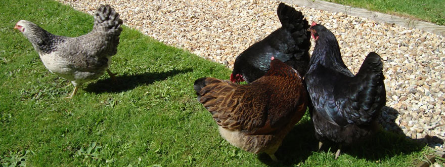 Hens in the Garden at the Old Forge