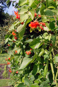Runner Beans in the Graden at the Old Forge