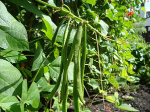 Runner Beans from the garden at The Old Forge